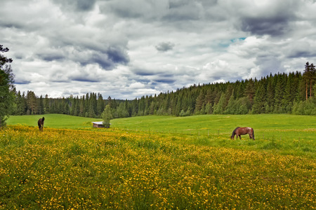 Two horses having a lunch on a summer field in the Central Finland. It's a beautiful and warm summer day. Stock Photo