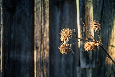 The sun lights the dead melancholy thistle flowers by an old barn house at the rural Finland.