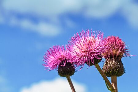 Three melancholy thistle flowers stand together against the summer sky at the rural Finland.