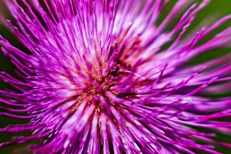 A detail of a melancholy thistle flower from above. The flowers are not too beautiful, bur from a different angle they create a dramatic view.