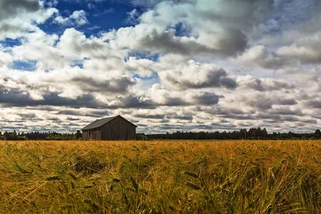 An old barn house in the middle of the rye field on a summer day at the rural Finland. The sky is full of beautiful white clouds.