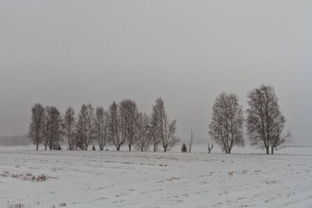 The birch trees stand in line even in a heavy snow storm in the rural Finland. The snow covers everything in sight. Stock Photo