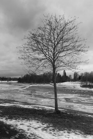 A tree stands alone by the icy river at the Northern Finland. The springtime is coming, but there are no leaves on the tree yet.