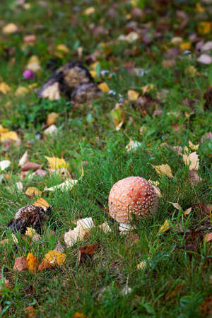 A tiny round fly agaric mushroom grows among the autumn leaves.