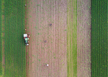 People harvesting carrots on the fields with a tractor and wooden crates. An above view of the straight plows of the fields. Stock Photo