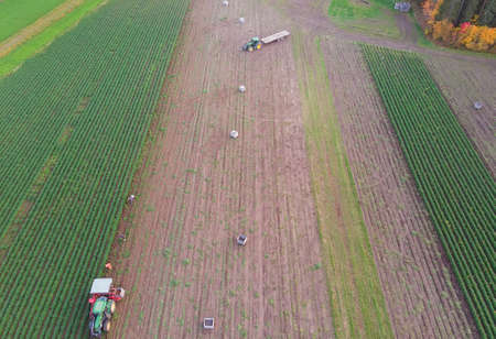 The farmers are harvesting the carrots on the autumn fields. The green plows of carrots create straight lines over the scene.
