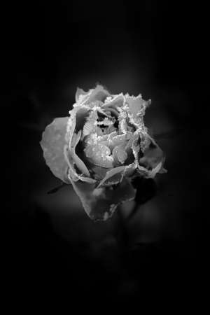 The cold autumn nights have covered the rose with frost. The moisture has frozen on the petals.