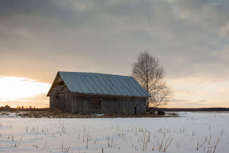 An old barn house and a bare birch tree bathe in the springtime sunset on the snowy fields.