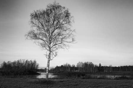 A lonely birch tree stands by the river on a clear autumn morning at the rural Finland. Stock Photo