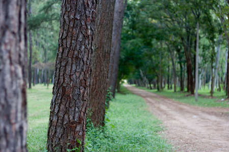 tree detail: close up body pine trees blurred background Stock Photo