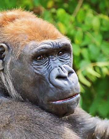 lowland: Western Lowland Gorilla