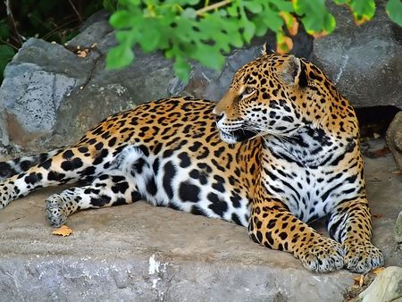 the amur: Amur Leopard resting in the shade at the St. Louis Zoo.