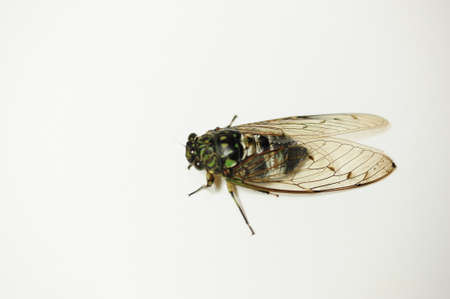 The cicada is a typical summer insect.