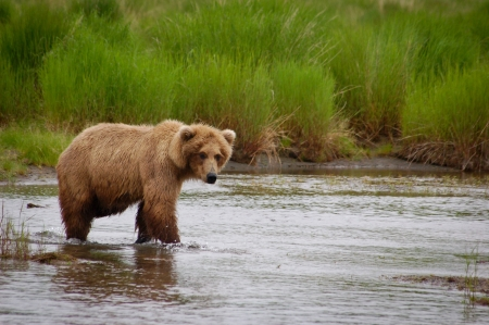 This is a shot of a mother grizzly bear at Katmai National Park in Alaska  版權商用圖片