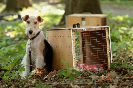 Fox Terrier and a box for transporting dogs on a background of grass and woods photo