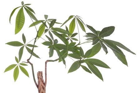 malvaceae: Pachira genus of trees of the family Malvaceae subfamily Bombacoideae  Flower  Pachira aquatica