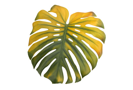 monstera leaf: Big green and yellow leaf of Monstera plant, on white. Stock Photo