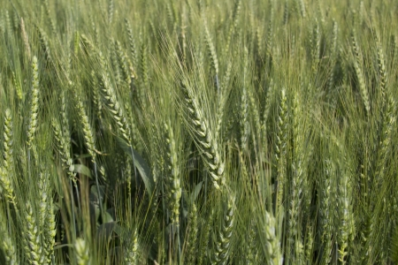 Unripe Green Wheat field background