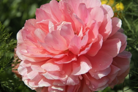 Pink Persian buttercup with water drops, Ranunculus asiaticus Stock Photo - 18603899