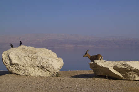Blue Dead Sea View with Nubain ibex and birds  Mountains on Background - Jordan,Ein Gedi  Israel photo