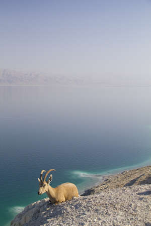 Resting Nubain ibex near Ein Gedi  Blue Dead Sea on Background, Israel photo