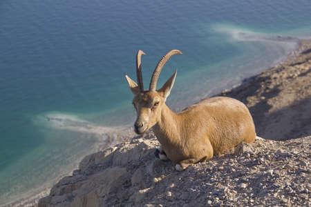 Goat resting on Dead Sea coastline photo