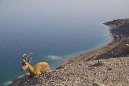 Dead Sea coastline with goat photo