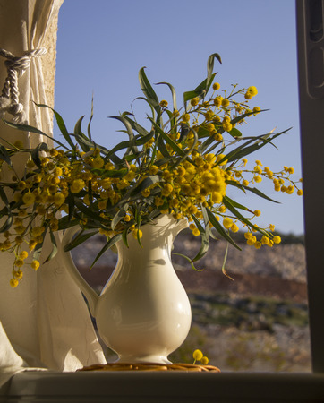 Mimosa in the pitcher on the window Still life