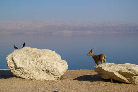 nature reserves of israel: Birds and Nubian Ibex living together,Birds eating parasites from mammals  Ein Gedi, Dead Sea, Israel
