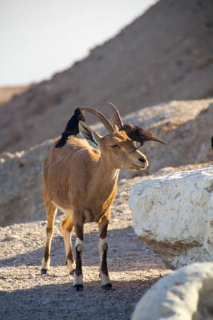 nature reserves of israel: Birds eating parasites from Ibex Cleaning behaviour of birds on the back of a large Nubain ibex  Dead Sea,Israel Stock Photo