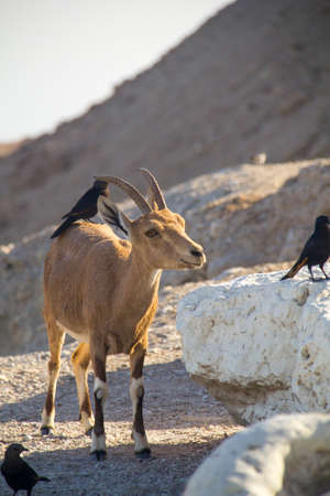 symbiotic: Birds eating parasites from Ibex Cleaning behaviour of birds on the back of a large Nubain ibex  Dead Sea,Israel Cleaning symbioses exist between birds and mammals