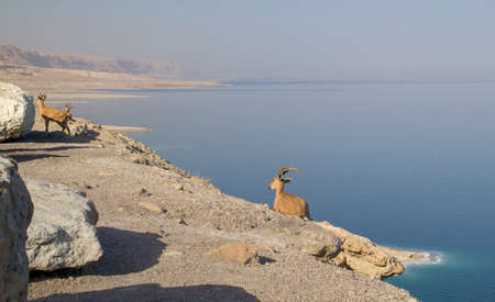 Dead Sea landscape with  Nubian ibex group, Israel photo