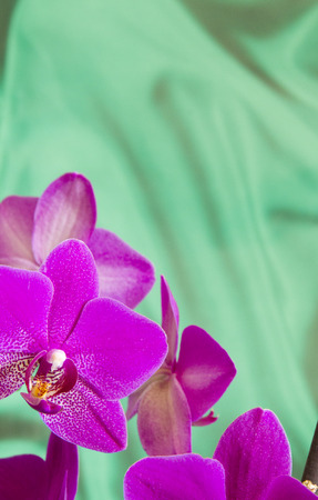 Violet Orchid Flowers on green sateen background with copyspace photo