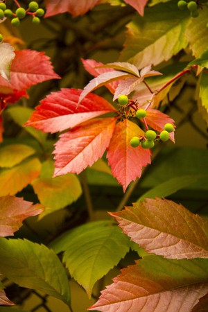 Wild Grapes Leaves in red and green photo