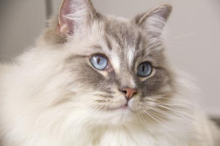 ragdoll: Closeup of the beautiful blue eye of a ragdoll cat. Stock Photo