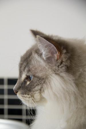ragdoll: Closeup of the beautiful blue eye of a ragdoll cat. Shallow depth of field.