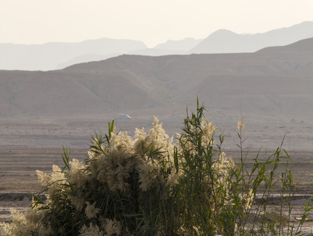 phragmites: Phragmites (common reed or Pampas Grass) in Judean Desert on seashore of Dead Sea. Stock Photo