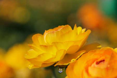Yellow Persian buttercups with rain drops, Ranunculus asiaticus photo