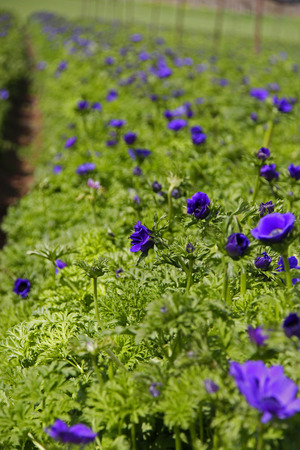 anemones: Cultivated field of Blue Anemones