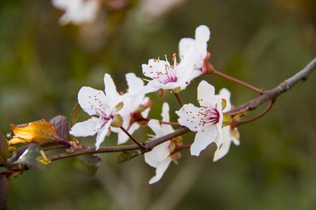 almond bud: Almond tree blooms Stock Photo