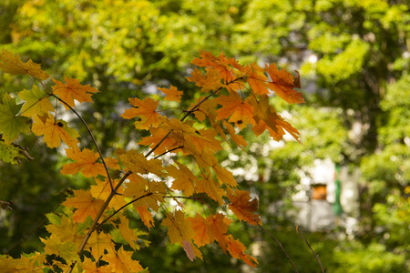 Yellow maple leaves in sunny Autumn bokeh background
