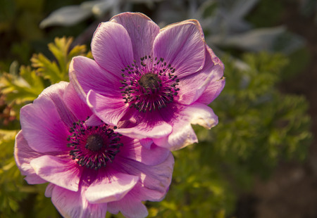 Couple of Rose Anemone in the spring field