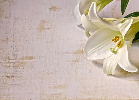 easter lily: An easter lily on a white grunge background.