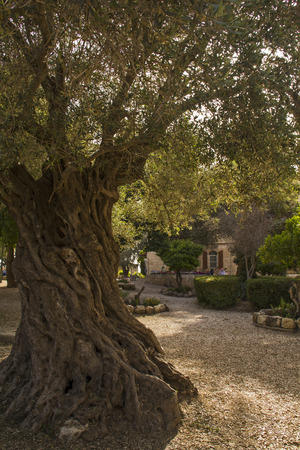 holyland: Old olive trees in the Garden of the Church of our Lady of the Arc of Covenant  in Abu Ghosh, Israel. On this mound the Byzantines built a church which was destroyed in 614 when the Persians conquered the country. Stock Photo
