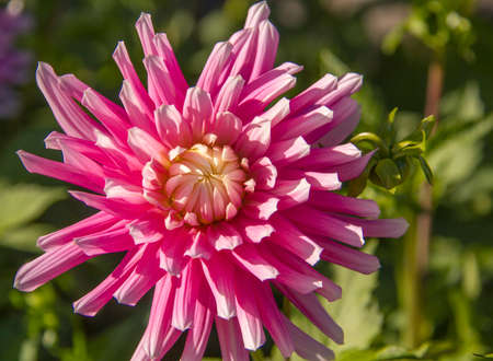 Single Pink Chrysanthemum flower in the garden