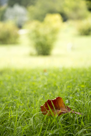 Autumn season leaf on green grass in the bright sunlight park. Shallow Depth of Field.  Park autumn landscape scene, early autumn park in sunny weather. Stock Photo