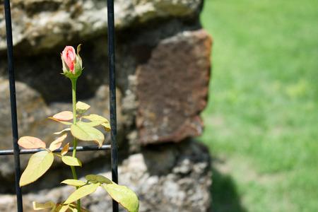 すぐに美しい花のバラのつぼみ