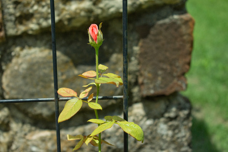 A single rose bud stands tall in the heat of the day just waiting to become a Rose Imagens