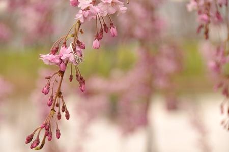 Engagement ring op bloeiende boom