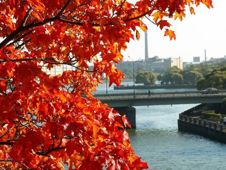 descriptive: Red leaves on the tree. Vyborg Russia